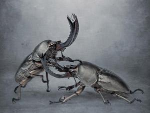 Странное хобби: бои жуков