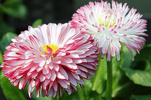 To be as fresh as a daisy — свежий как огурчик, свежа как роза, энергичный и бодрый